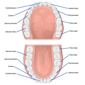 Different Types of Teeth - Dentist Omaha - Quality Dental Care
